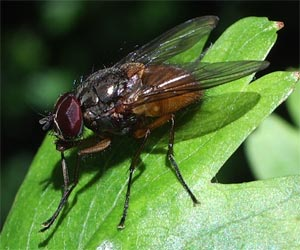 A muscid fly, Phaonia sp., photographed 15 May 2005 by B Crowley; probable ID by J Ismay & B Schulten
