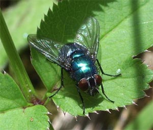 Greenbottle, photographed 15 May 2005 by B Crowley