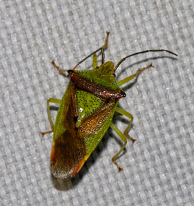 Hawthorn Shield Bug (Acanthosoma haemorrhoidale) photographed  7 September 2009 by B Crowley