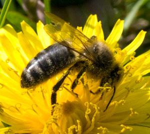 Honeybee (Apis mellifera) photographed 08 April 2009 by B Crowley