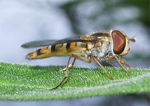 Episyrphus balteatus, photographed 17 July 2005 by B Crowley