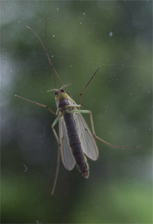 A large non-biting midge (family Chironomidae) photographed 24 April 2005 by B Crowley