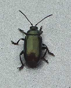 Gastrophysa viridula, a leaf beetle, photographed 24 April 2005 by B Crowley
