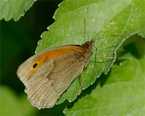 Meadow Brown photographed 26 June 2005 by L Pasquire