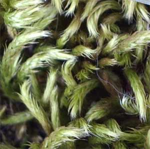 Moss photographed 24 April 2005 by B Crowley