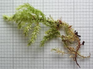 Moss specimen photographed 30 May 2005 by B Crowley