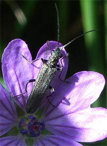 Musk beetle, photographed 30 May 2005 by B Crowley
