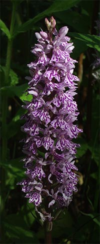 dachlorhiza in full bloom, photographed 19 June 2005 by B Crowley