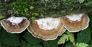 Bracket fungi, photographed 31/07/2005 by B Crowley, ID by P Collins
