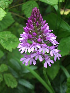 Pyramidal orchid, photographed 26 June 2005 by B Crowley