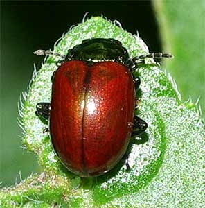 Chrysolina polita photographed 15 July 2005 by B Crowley