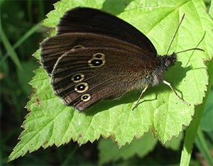 Ringlet, photographed 26 June 2005 by B Crowley