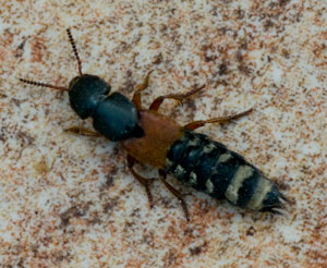 Platydracus stercorarius - a rove beetle, photographed 31 August 2009 by B Crowley (identification by L Losito)