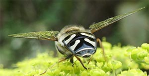 Scaeva pyrastri - a hoverfly, photographed 31 July 2005 by B Crowley