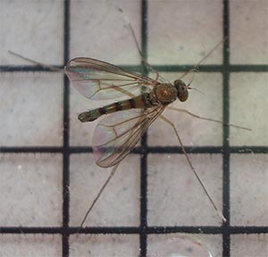 Sciapus platypterus, a long legged fly, photographed 12 June 2005 by B Crowley, ID by John Ismay and Barbara Schulten