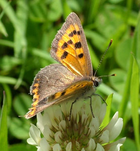 Small Copper (Lycaena Phlaeas) photographed 28 July 2009 by S Calvert Fisher