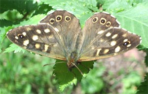 Speckled Wood, photographed 30 May 2005 by B Crowley