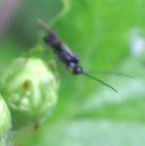A small sawfly (probably) photographed 30 April 2005 by B Crowley
