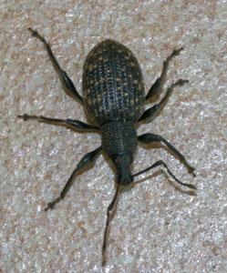 Vine weevil (Otiorhynchus sulcatus) photographed 4 September 2009 by B Crowley