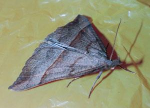 Snout (Hypena proboscidalis) photographed 4 June 2009 by S Calvert Fisher