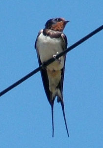 Swallow (Hirundo rustica) photographed 23 August 2009 by S Calvert-Fisher