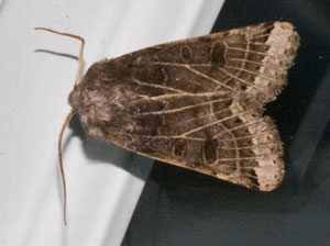 Lunar Underwing (Omphaloscelis lunosa) photographed 07 October 2009 by B Crowley