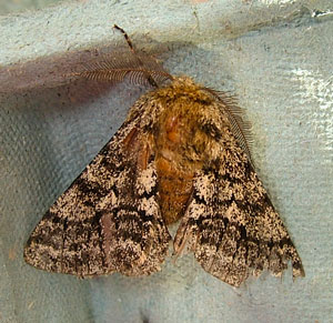 Brindled Beauty (Lycia hirtaria) photographed 20 April 2010 by S Calvert-Fisher