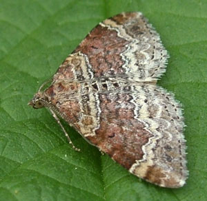 Red Twin-spot Carpet (Xanthorhoe spadicearia), photographed 05 May 2010 by S Calvert-Fisher