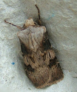 Shuttle-shaped Dart (Agrotis puta puta) photographed 06 May 2010 by S Calvert-Fisher