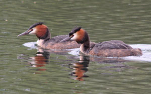 Great Crested Grebe (Podiceps cristatus) adult pair, photographed 09 May 2010 by M Kosniowski