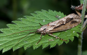Phryganea grandis - a caddis fly, photographed 28 May 2010 by B Crowley