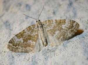 Sandy Carpet (Perizoma flavofasciata) photographed 28 May 2010 by S Calvert-Fisher
