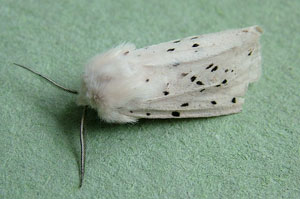 White Ermine (Spilosoma lubricipeda) photographed 09 June 2010 by S Calvert-Fisher