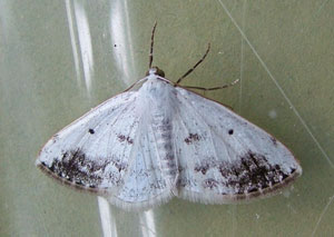 Clouded Silver (Lomographa temerata) photographed 10 June 2010 by S Calvert-Fisher