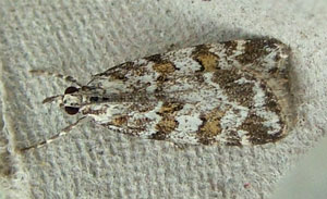 Scoparia pyralella - a micromoth, photographed 10 June 2010 by S Calvert-Fisher
