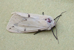 Buff Ermine (Spilosoma luteum) - female, photographed 25 June 2010 by S Calvert-Fisher
