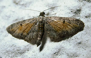 Tawny Speckled Pug (Eupithecia icterata) photographed 16 August 2010 by S Calvert-Fisher