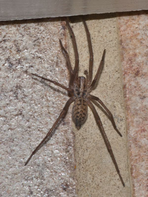 Tegenaria domestica, photographed 19 August 2010 by B Crowley