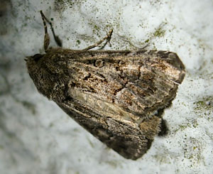 Straw Underwing (Thalpophila matura) photographed  28 August 2010 by S Calvert-Fisher