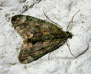 Red-green carpet  (Chloroclysta siterata) photographed 12 November 2010 by S Calvert-Fisher