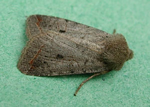 Red-line quaker (Agrochola lota) photographed 22 November 2010 by S Calvert-Fisher