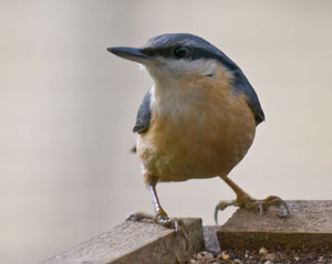 Nuthatch (Sitta europaea) photographed 01 January 2011 by George Cocker