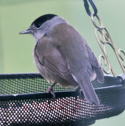 Blackcap (Sylvia atricapilla) photographed 30 January 2011 by B Crowley