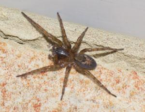 Amaurobius similis - female - photographed 17 February 2011 by B Crowley