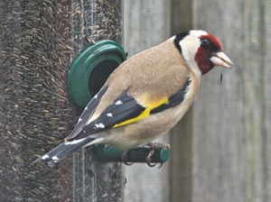 Goldfinch (Carduelis carduelis) photographed 13 March 2011 by B Crowley