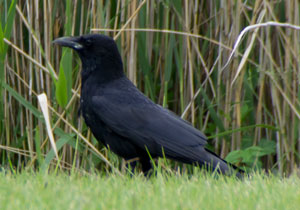 Carrion Crow (Corvus corone), photographed 28 May 2011 by B Crowley