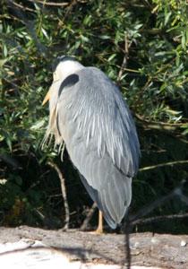 Grey heron Ardea cinerea) on Thrupp Lake, 28 May 2011. Photograph by B Crowley