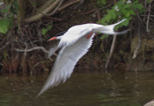 Common Tern (Sterna hirundo) in flight over Thrupp Lake, 28 May 2011. Photograph by B Crowley.