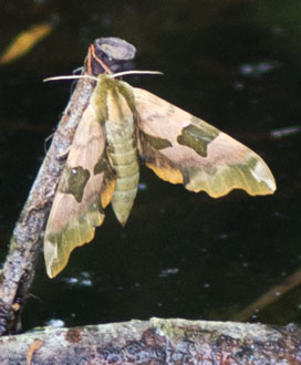 Lime Hawkmoth (Mimas tiliae) photographed 17 June 2011 by B Crowley