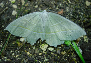 Light Emerald (Campaea margaritata) photographed 04 July 2011 by S Calvert-Fisher
